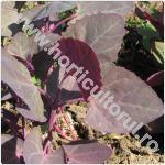 Loboda de gradina - Atriplex hortensis