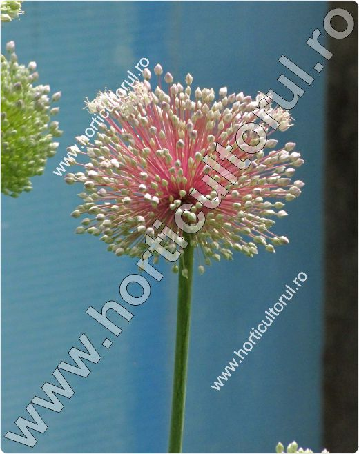 Prazul-Allium porrum-Leek-flower
