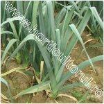Prazul-Allium porrum
