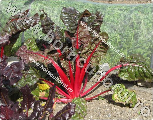 Sfecla de petiol si frunze (Beta vulgaris var. cicla)