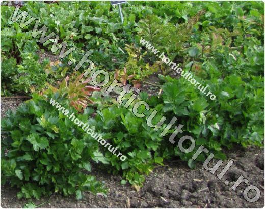 Apium graveolens var. secalinum
