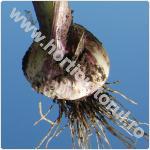 Usturoiul comun-Allium sativum
