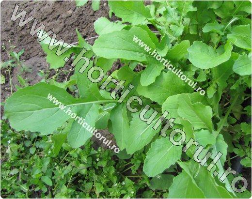 Rucola-Eruca vesicaria
