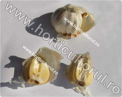 Usturoiul-Allium sativum