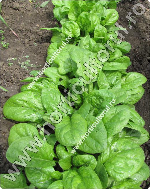 spanac-Spinacia oleracea