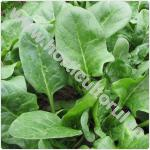 spanacul-Spinacia oleracea