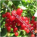 Coacaz rosu-Ribes rubrum