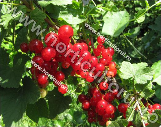 Coacazul rosu-Ribes rubrum