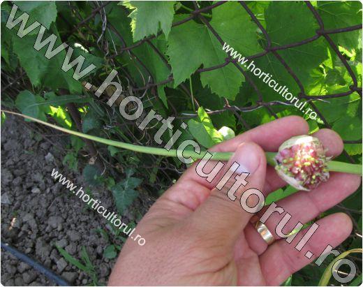 usturoiul rocambole