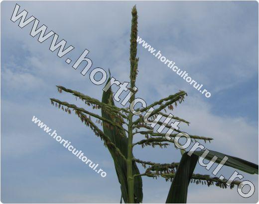 Porumb zaharat - dulce (Zea mays ssp. saccharata)