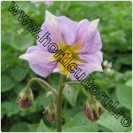 cartoful-Solanum tuberosum