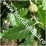 cer-Quercus cerris