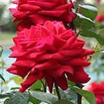 trandafir 150