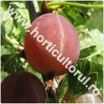 Agrisul European-Ribes uva-crispa
