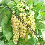 Coacaz alb-Ribes niveum