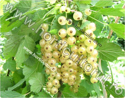 Coacazul alb-Ribes niveum