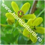 Coacaz auriu-Ribes aureum