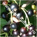 Coacaz negru-Ribes nigrum