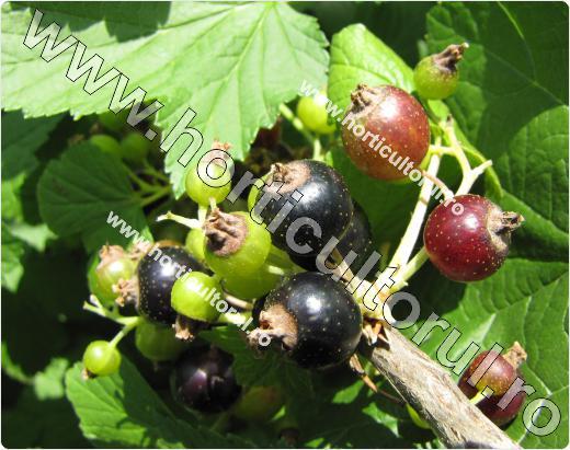 Coacazul negru (Ribes nigrum)