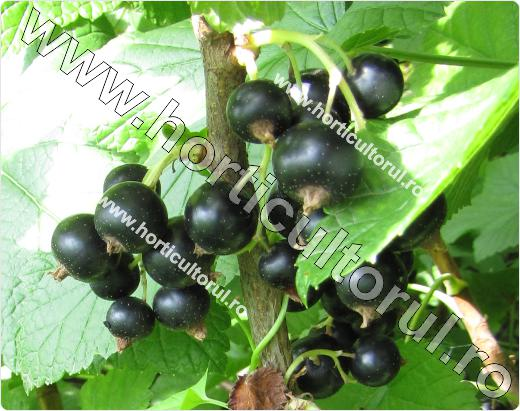 Coacaz negru-titania