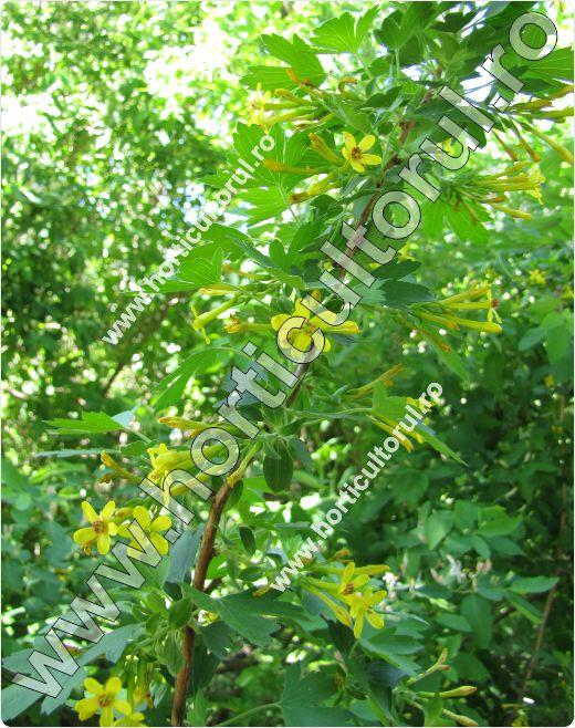 Coacazul auriu-Ribes aureum