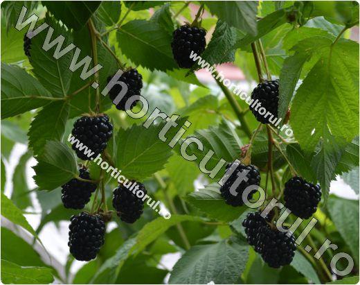 Murul de gradina - cultura (Rubus spp.)