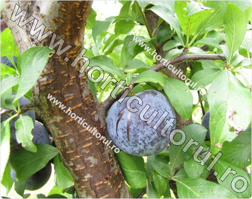 Prunul japonez (Prunus salicina)