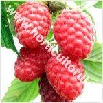 Zmeurul de gradina-Rubus idaeus