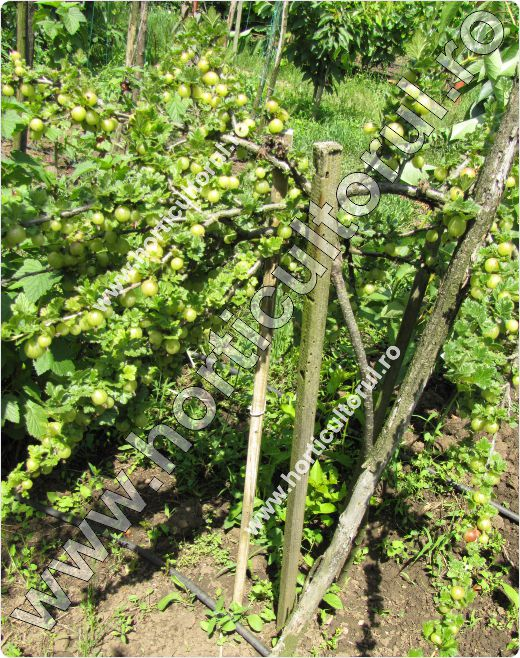 Agrisul European (Ribes uva-crispa)