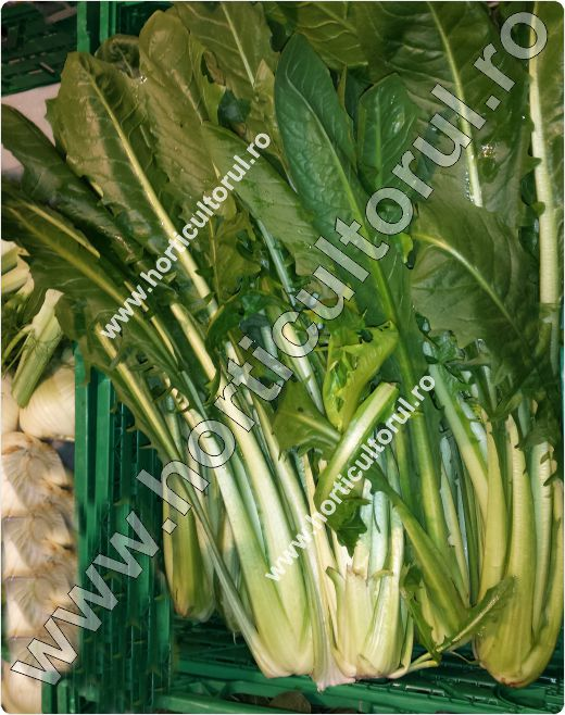 Cicoarea Catalogna Pugliese-Cichorium intybus