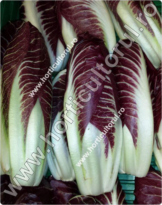 Cicoarea-Cichorium intybus-Rosso Precoce