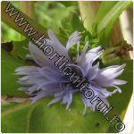 Cicoarea de gradina-Cichorium intybus