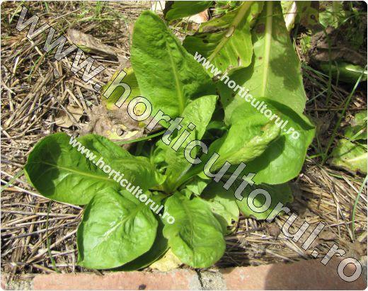 Cicoarea de gradina-Cichorium intybus_2