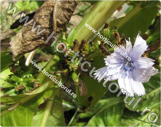 Cicoarea de gradina-floare