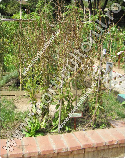 Cicoarea de gradina-plante mama