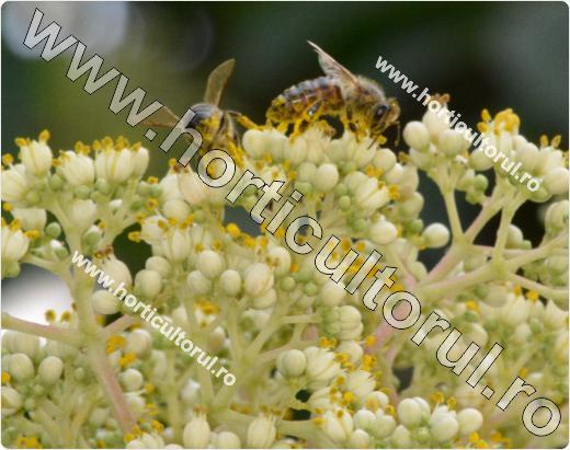 Fig. 7 Copacul de miere (Evodia hupehensis)