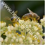 Evodia-Copacul de miere_albine