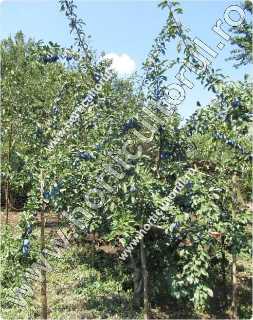 Prunul-Prunus domestica-Stanley