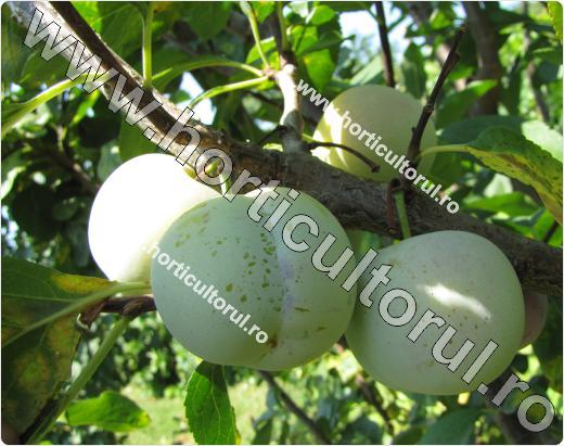Prunul-Prunus domestica-Renclod Althan