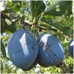 Prunul-Prunus domestica