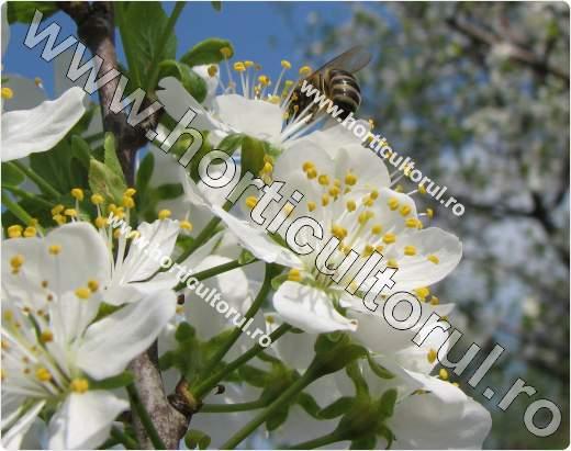 Prunul-inflorit