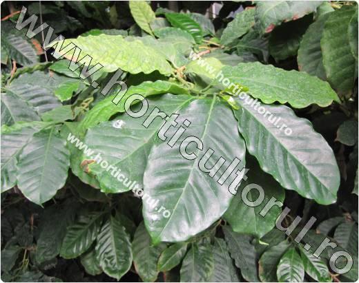 Arbore de cafea-Coffea arabica-Catura