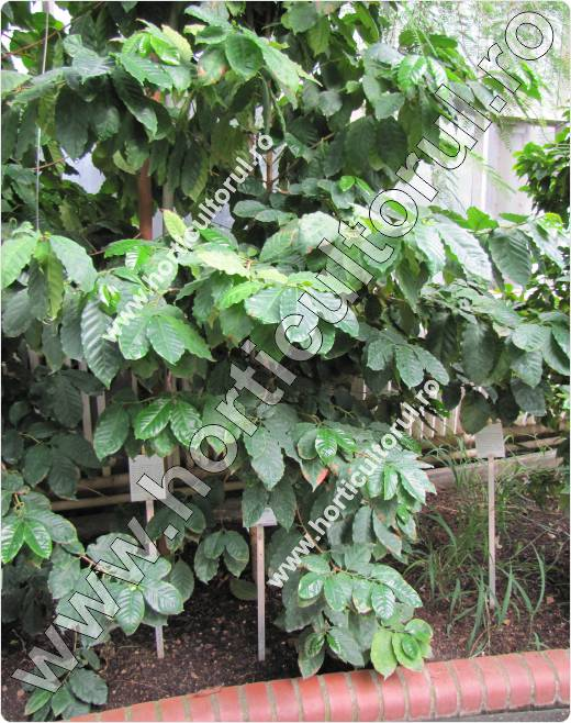 Arborele de cafea-Coffea arabica-Catura