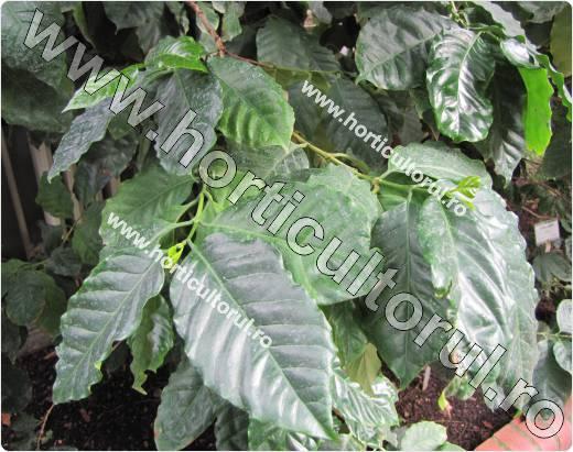 Arborele de cafea-Coffea arabica_1