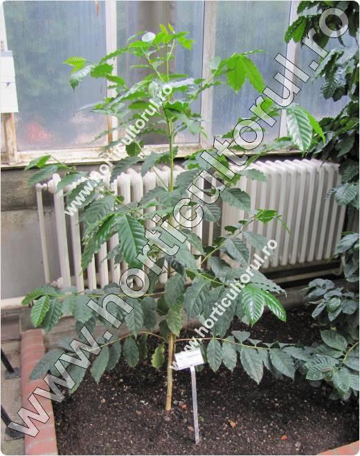 Arborele de cafea-Coffea benghalensis