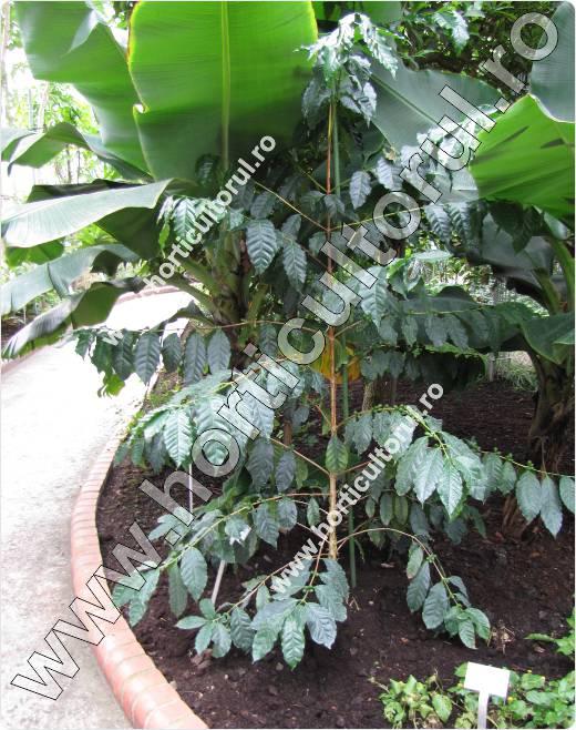 Arborele de cafea-Coffea stenophylla