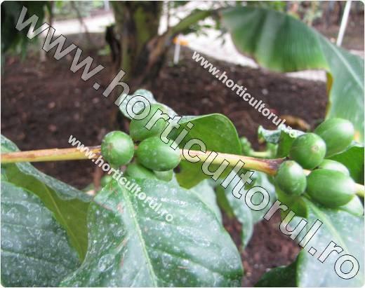 Arborele de cafea-Coffea stenophylla_fructe