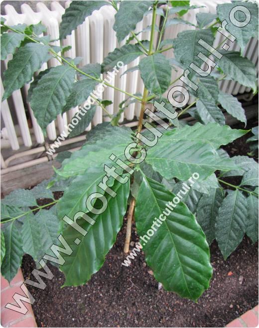 Coffea benghalensis-Arborele de cafea
