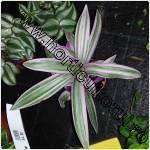Planta spada-Tradescantia spathacea
