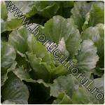 Varza chinezeasca-Brassica chinensis